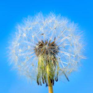 White dandelion on the blue sky background